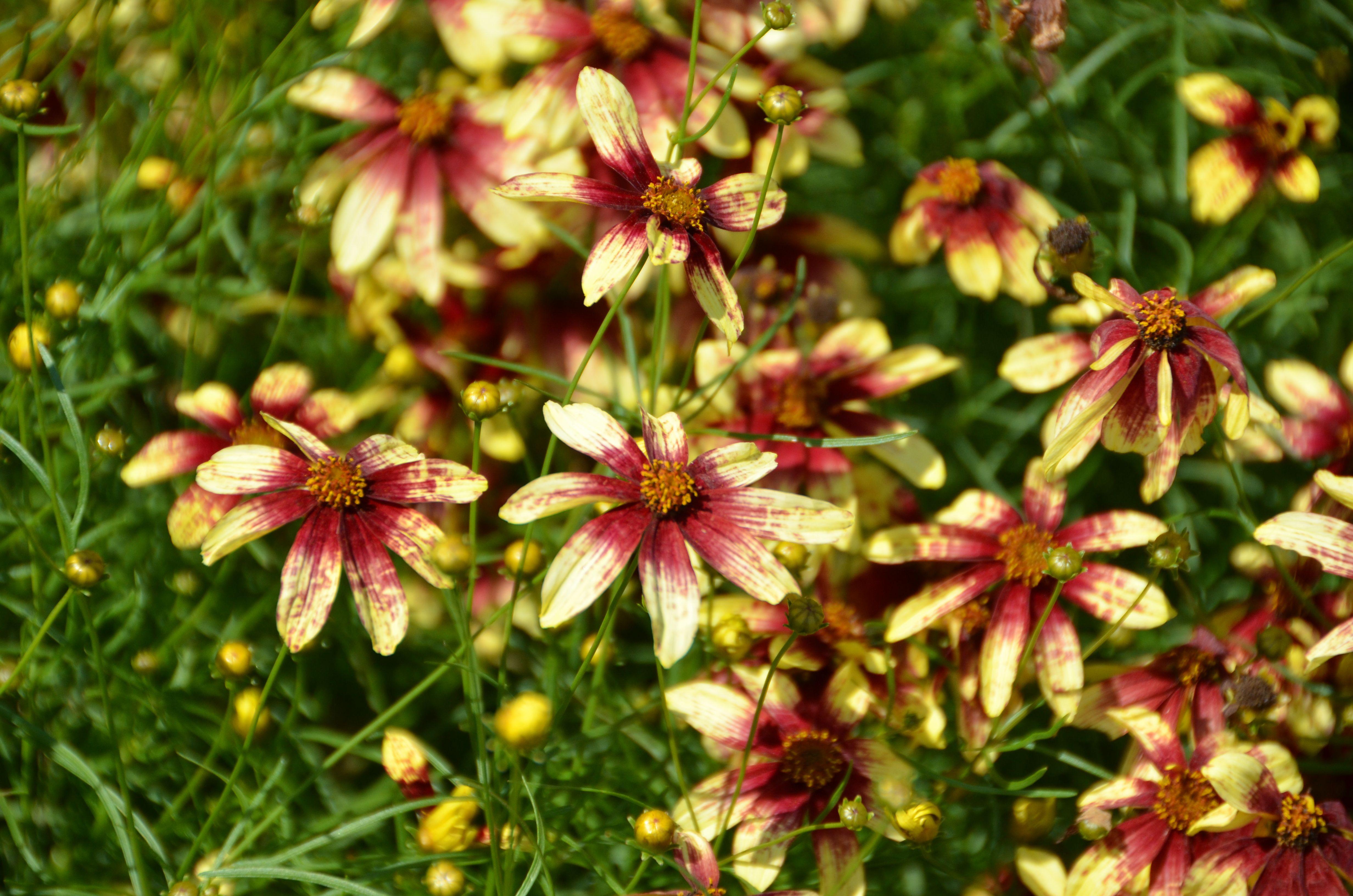 Threadlife Coreopsis 'Redshift'  at Coastal Maine Botanical Gardens.