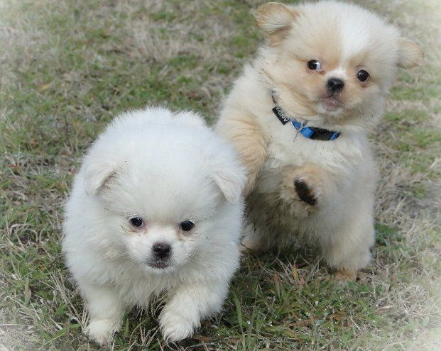Pug Pomeranian Mix With Images Pug Mixed Breeds Pug Mix