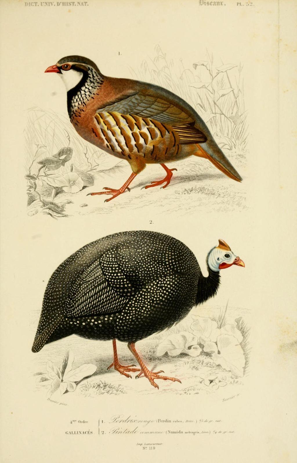 Gravures couleur d 39 oiseaux gravure oiseau 0267 pintade commune numida meleagris gallinace - Dessin pintade ...