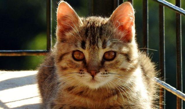 Найкрасивішого кота Хорватії 2016 кошеням знайшли на ...