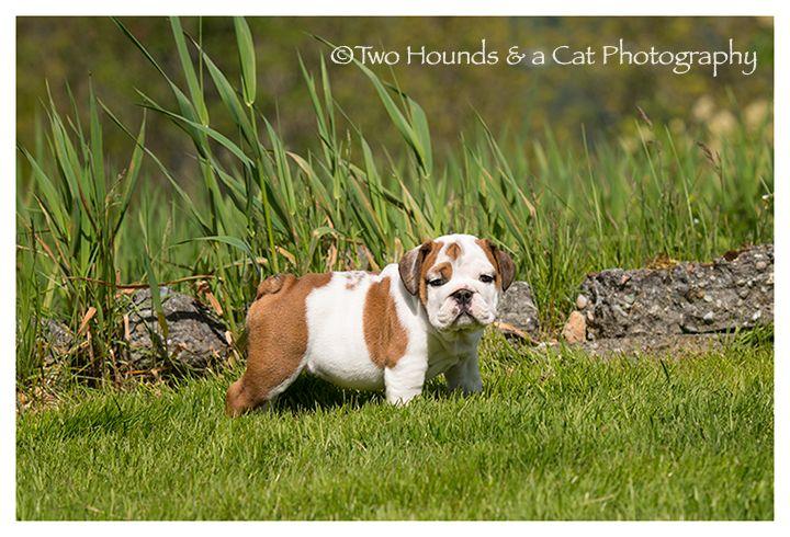 Chow Chow Puppy For Sale In Seattle Wa Adn 70714 On Puppyfinder