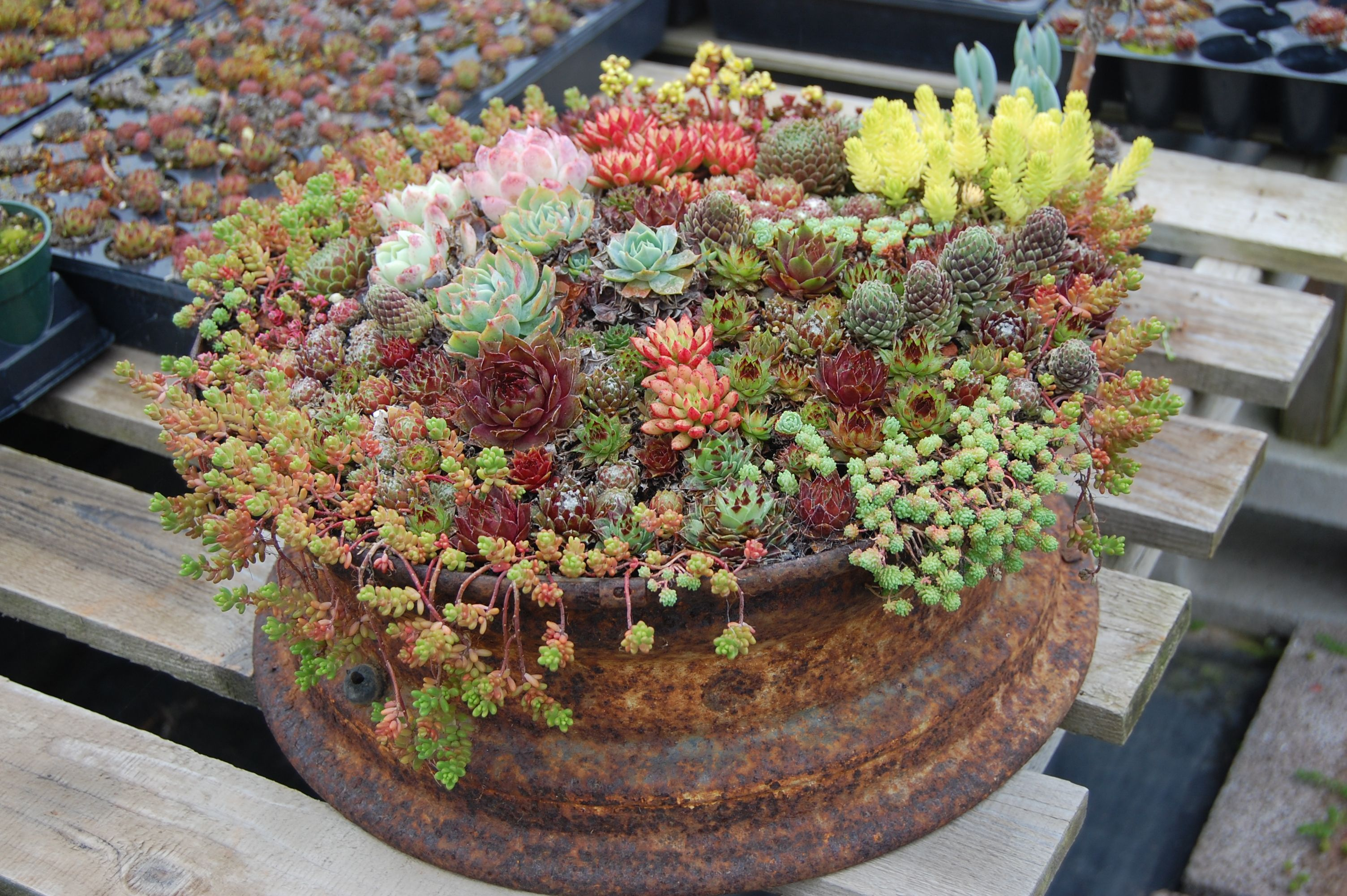 This old rusty car rim has a nice variety of Sedum, and Sempervivum (Hen and Chicks). <3 this!