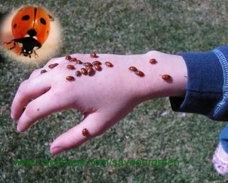 Ladybugs, and it's interesting fact!   Animal Kingdom   Pinterest ...