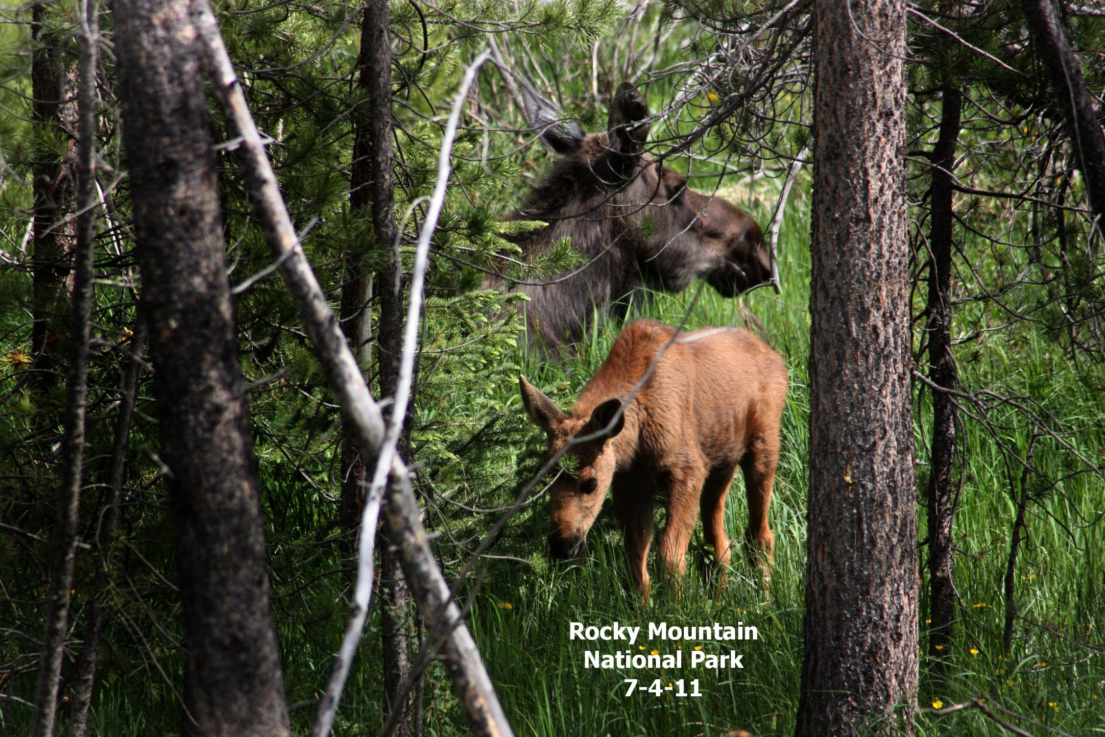 This Mama Moose had twins. They were just adorable. Rocky Mountain National Park