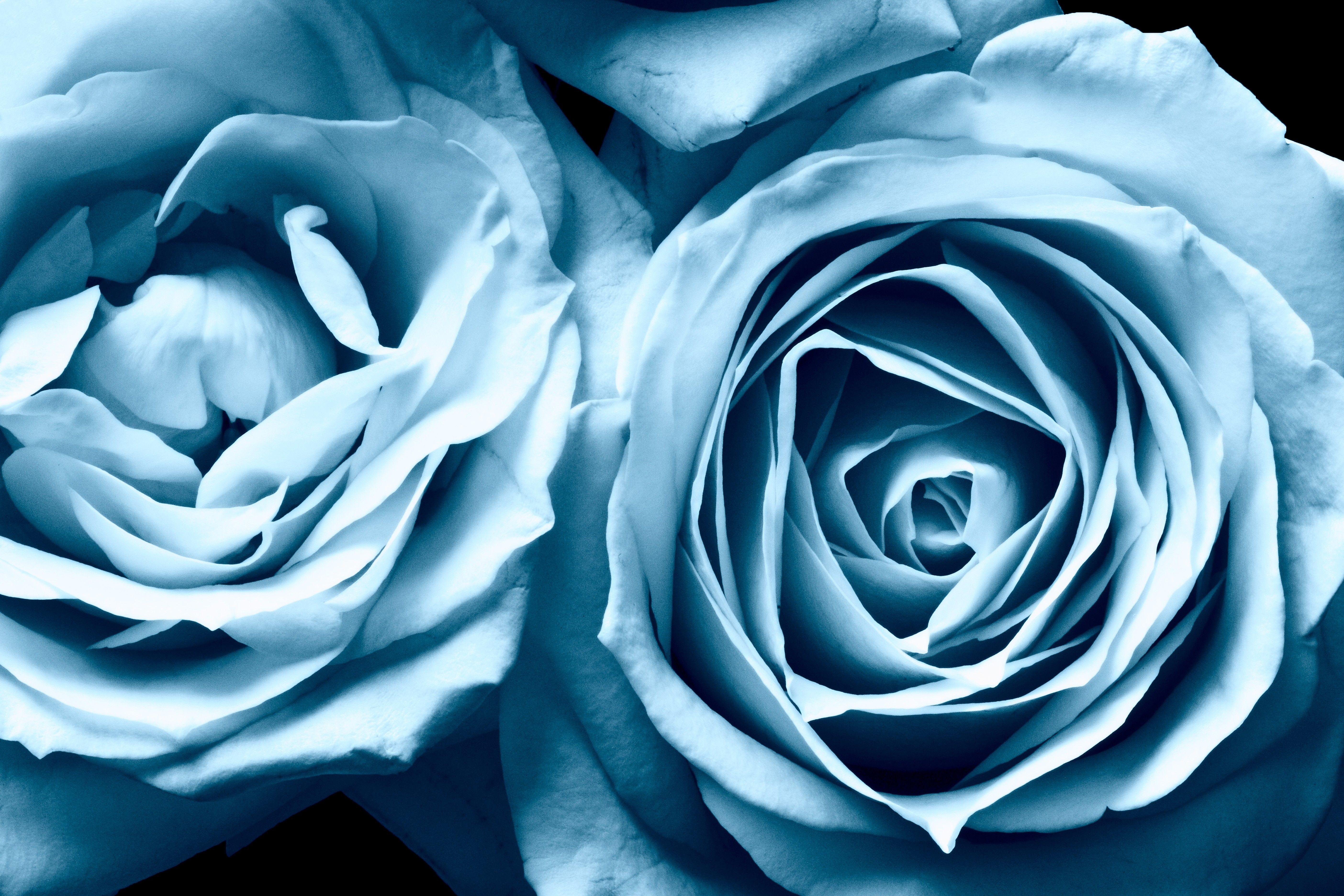 Blue Frosty Roses Wallpaper Hd Full Screen Blue Roses Wallpaper Blue Flower Wallpaper Blue Roses