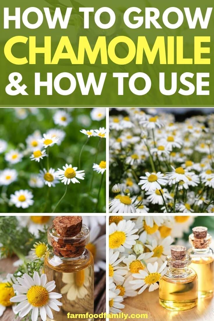 Chamomile herb plants how to grow and use chamomile