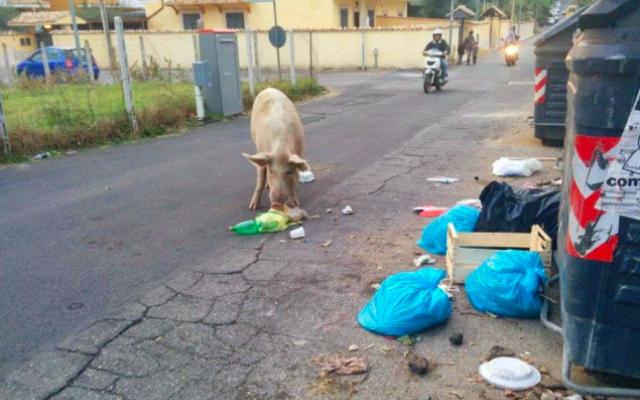 Nella Capitale tornano a passeggiare i maiali. Le foto della vergogna #maialiaroma #boccea #degrado