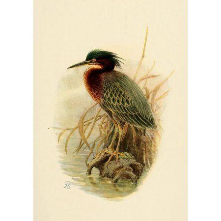 Birds of California 1923 Anthony Great Heron Canvas Art - A Brooks (18 x 24)