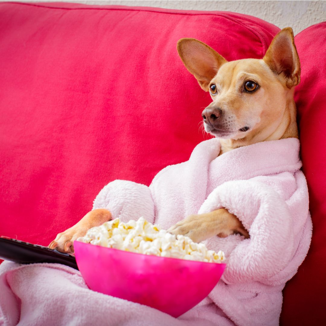 Chihuahua Watching Tv Dog Watching Tv Popular Dog Names Most