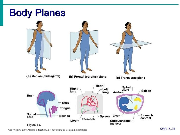 aphumanbodyorientation11728jpg 728 546 – The Human Body an Orientation Worksheet Answers
