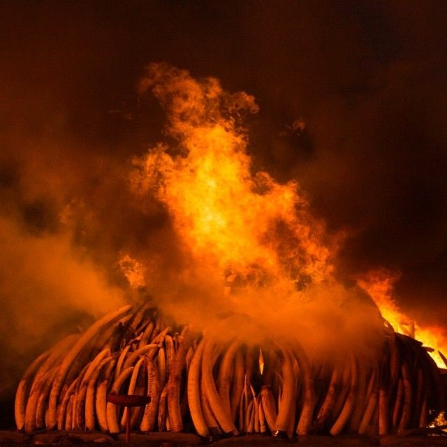 26bc7abe3926d Photo by  chamiltonjames   Charlie Hamilton James - Yesterday Kenya burned  the largest stock of Ivory in history. 105 tons worth anything from  150 to   170 ...