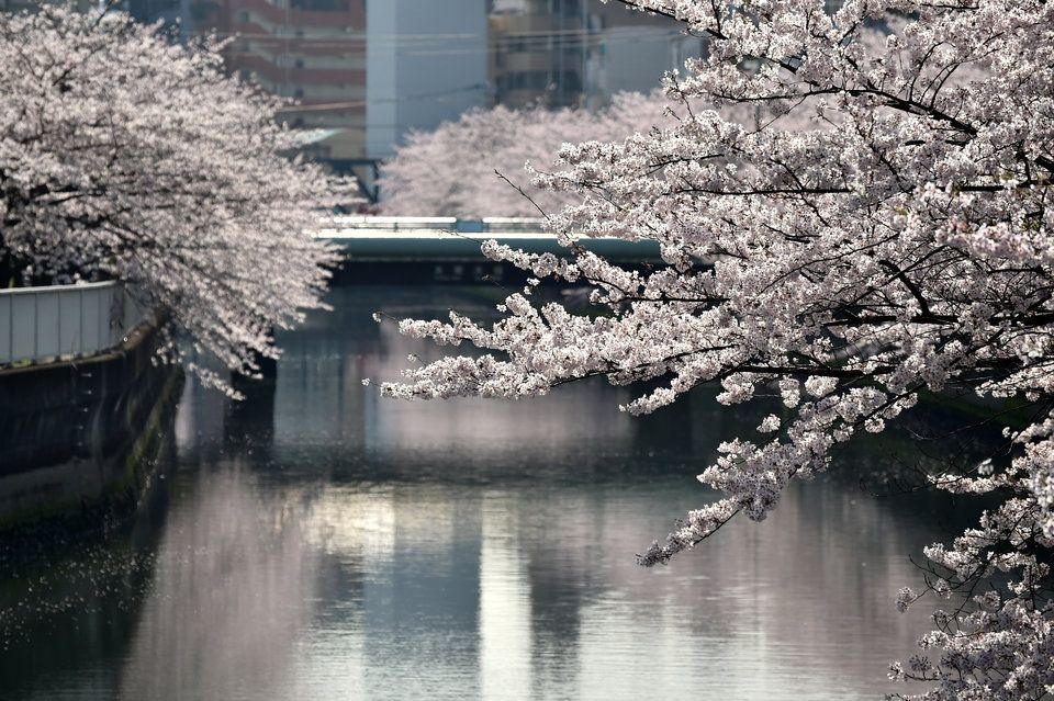 Gorgeous Photos Show Off Japan S Cherry Blossom Season Japan Cherry Blossom Season Cherry Blossom Season Cherry Blossom Pictures