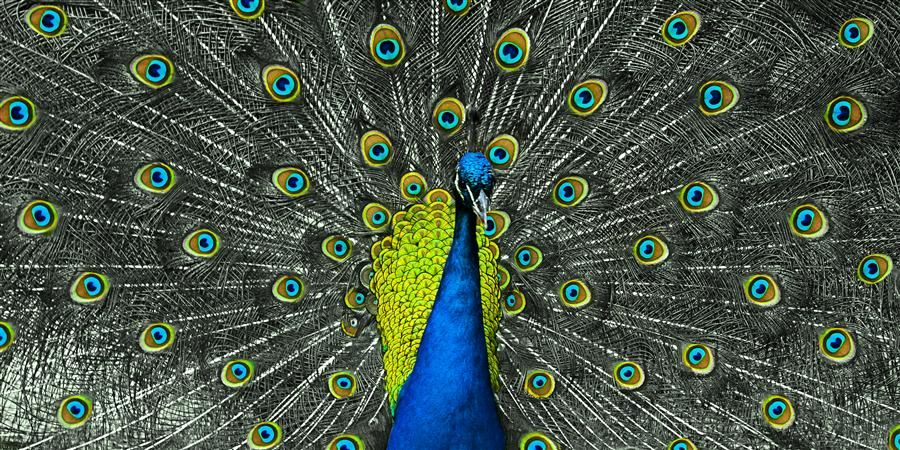 "Original art for sale at UGallery.com | Peacock #2 by Kevin Perlic | $25 | photography | 24"" h x 12"" w 