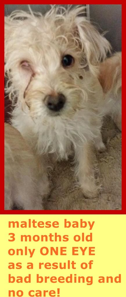 ADOPTED --- #A4792752 I'm an approximately 3 month old female maltese. I am not yet spayed. I have been at the Carson Animal Care Center since January 18, 2015. I am available on January 18, 2015. You can visit me at my temporary home at CRECEIVING.    Carson Shelter, Gardena, California...  https://www.facebook.com/171850219654287/photos/pb.171850219654287.-2207520000.1421676800./360628714109769/?type=3&theater