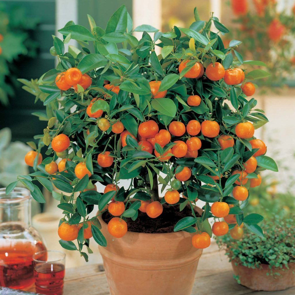 Cultivar frutas org nicas en casa con minifrutales paisajismo agro pinterest mini arboles - Como plantar arboles frutales ...