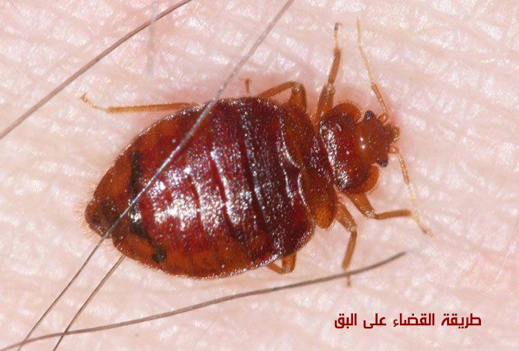 طريقة القضاء على البق أحدث طرق مكافحة حشرات بق الفراش In 2020 Bed Bug Control Bed Bugs Bug Control