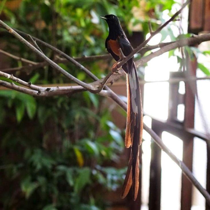 16 Jenis Burung Murai Batu Terpopuler Di Indonesia Dan Mancanegara Burungnya Com Burung Murai Binatang