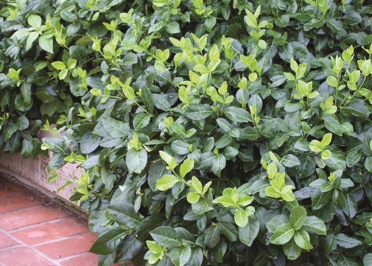 immergrüne kriechspindel als bodendecker   ground cover planting, Gartenarbeit