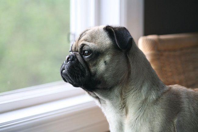 Frenchie Pugfrug French Bulldog Pug Mix Info Puppies
