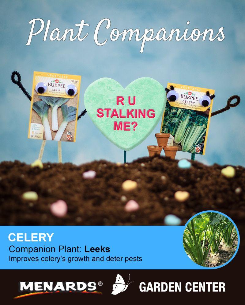 Leeks and celery make a great pair! Learn how companion ... Leek Companion Plants