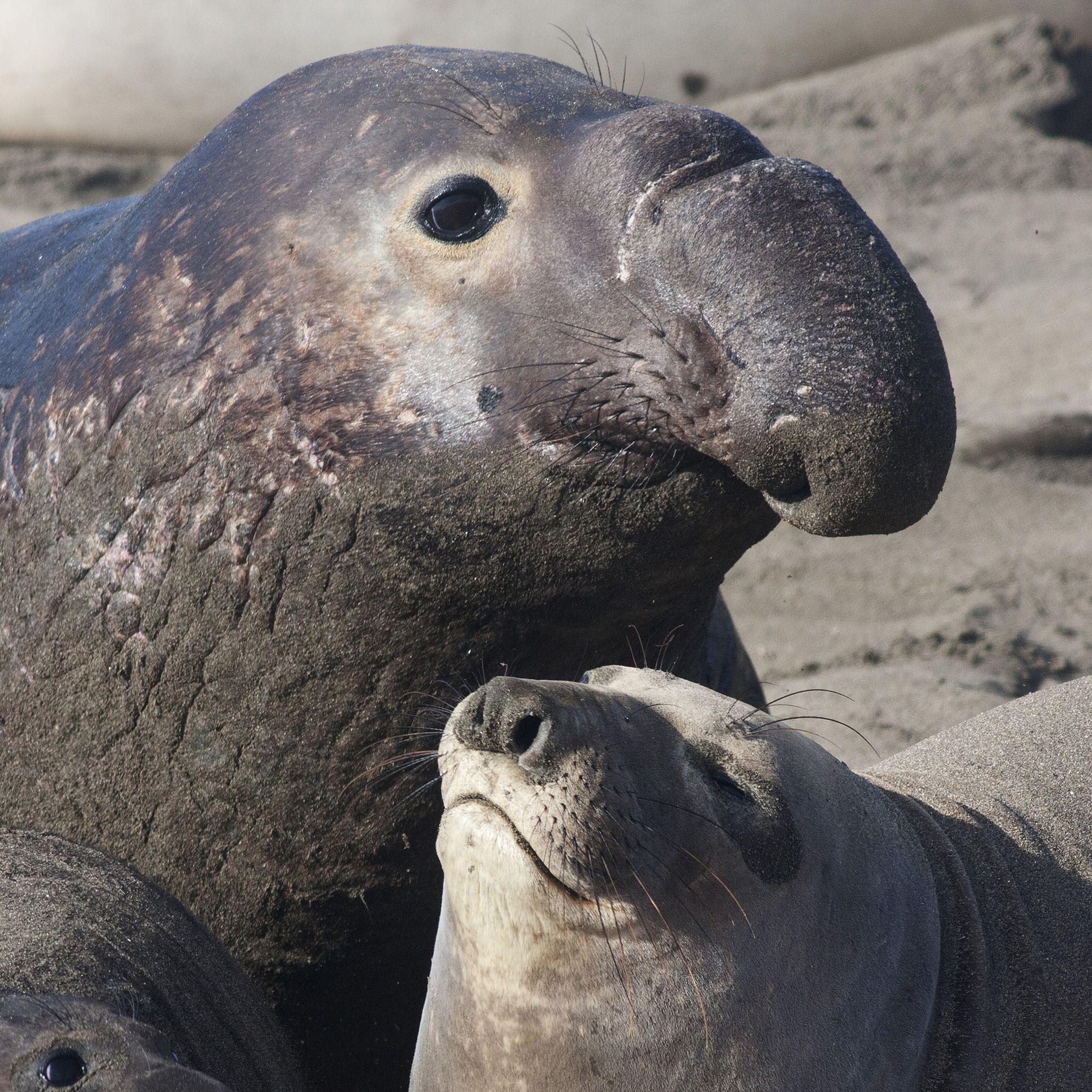 без фото морского слона животное содержит