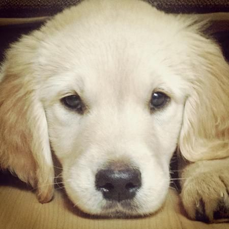 Zeke The Golden Retriever What A Face Cute Puppies Puppies