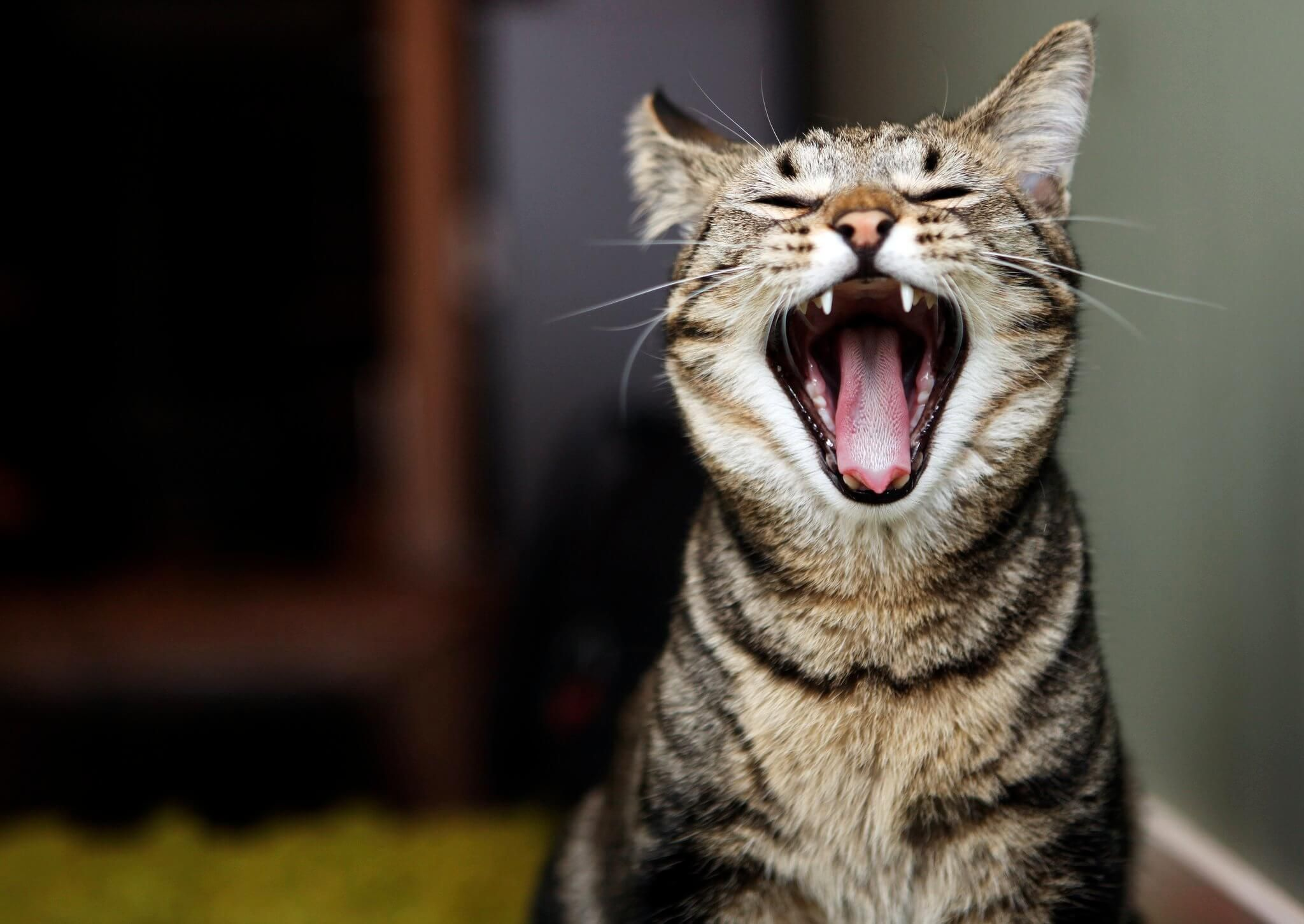 5 Main Symptoms Of Kidney Failure In Cats (With images