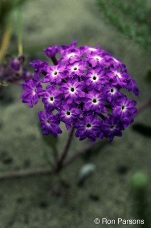 Abronia Umbellata Gardening Ideas Native Plants Plant Catalogs