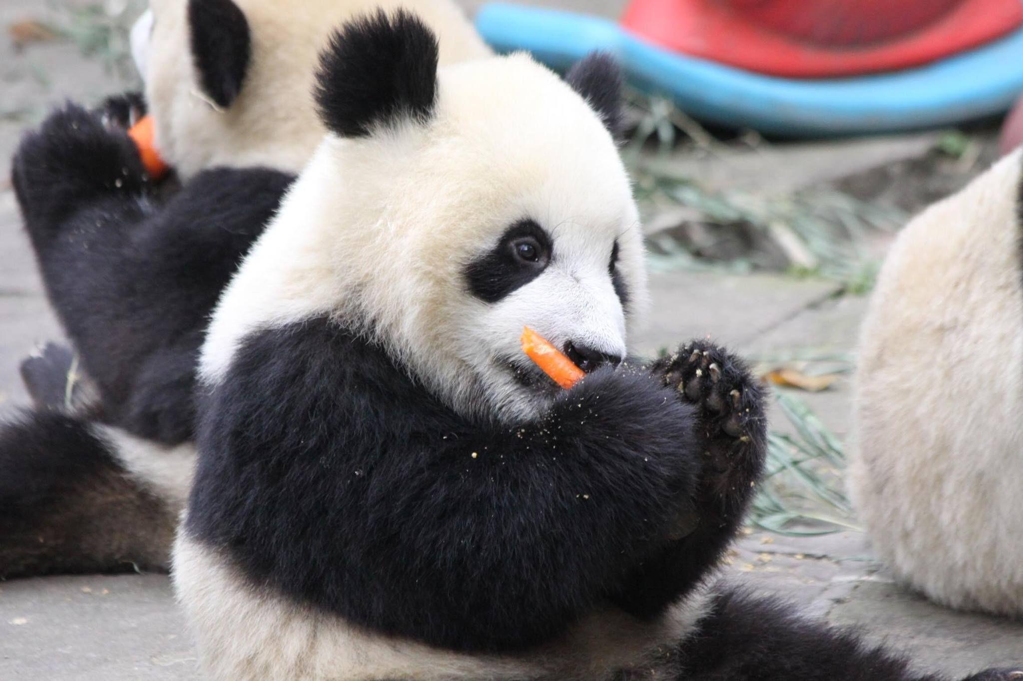 Медведь коала панда картинки
