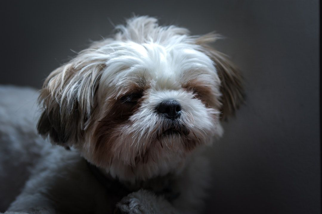 How To Stop My Dog From Barking At The Door With Images Shih