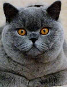 British Shorthair Breeders In Australia Australian Cat Breeders British Shorthair Cats British Shorthair Breeders British Blue Cat