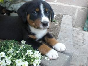 An Adorable Appenzeller Sennenhund I Want One Soo Bad Hunde Sennenhund Hunde Welpen