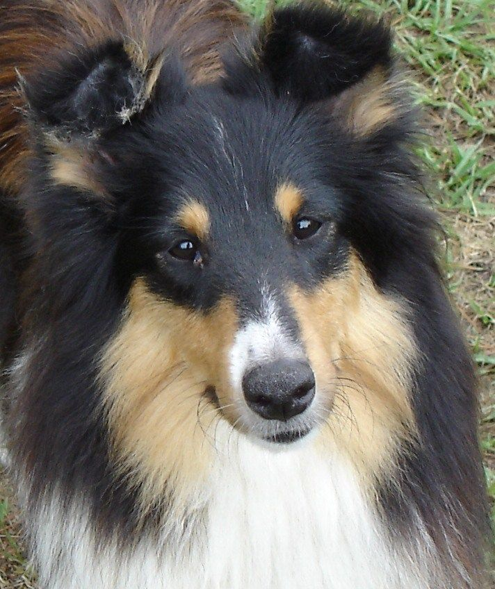 Pin By All Star Shelties Kennel On All About The Love Of Shelties Sheltie Dogs Cute Dogs