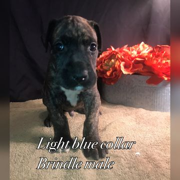 Litter Of 9 Great Dane Puppies For Sale In Neenah Wi Adn 51992