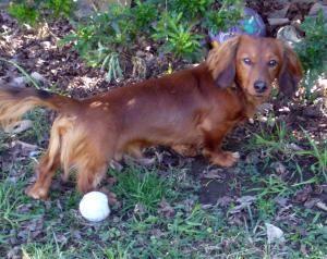 Adopt Falcor On Adoptable Dachshund Dog Dachshund Hound Breeds