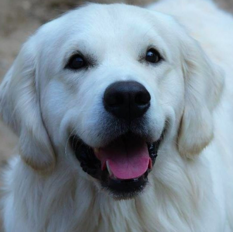 Have You Been Thinking About Adopting A Golden This Is Your Sign