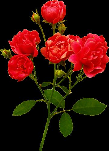 سكرابز أوراق أشجار روعة للتصميم سكرابز ورود للتصميم جميلة جدا Flowers Rose Plants