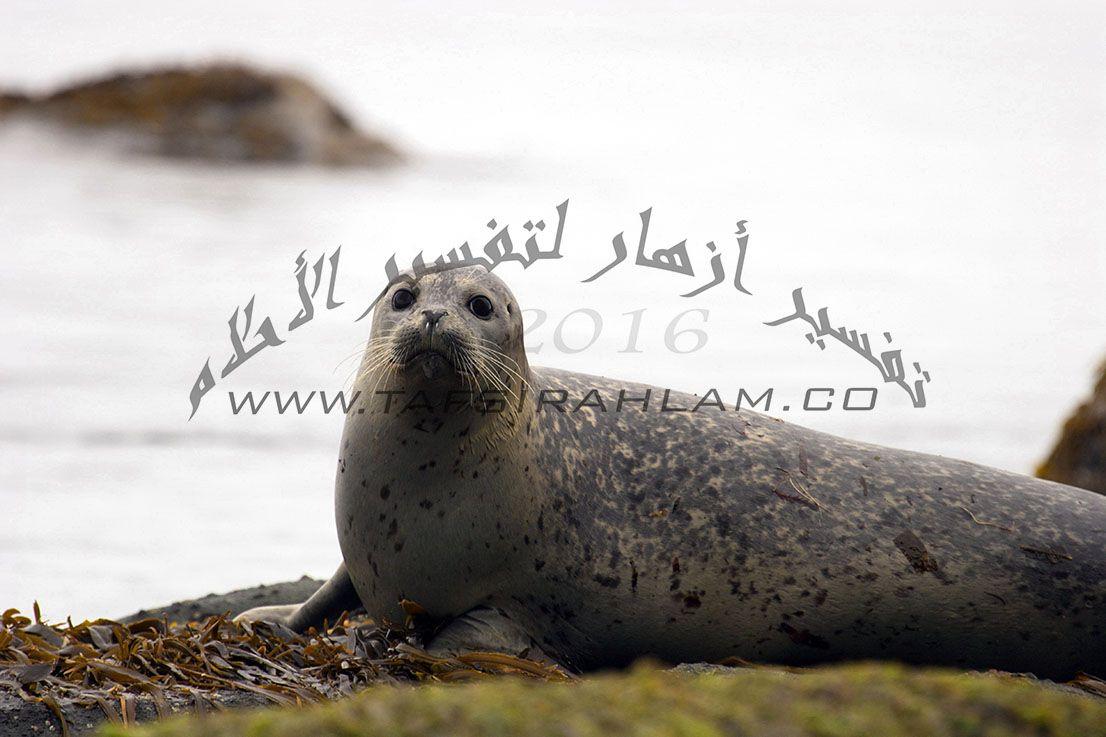 تفسير رؤية الفقمة في المنام Walrus Animals