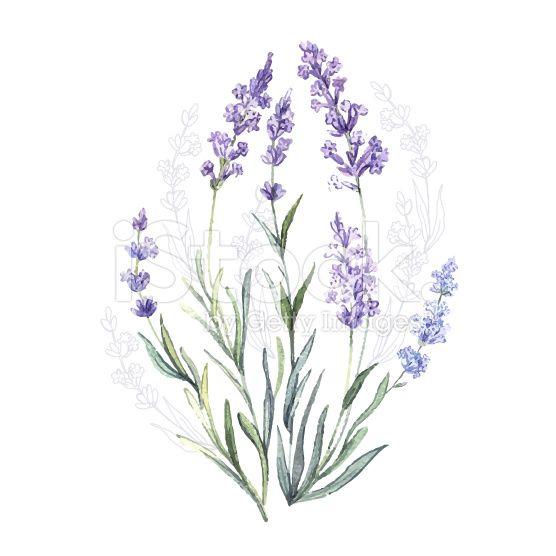 Watercolor Vector Lavender In 2020 Watercolor Illustration