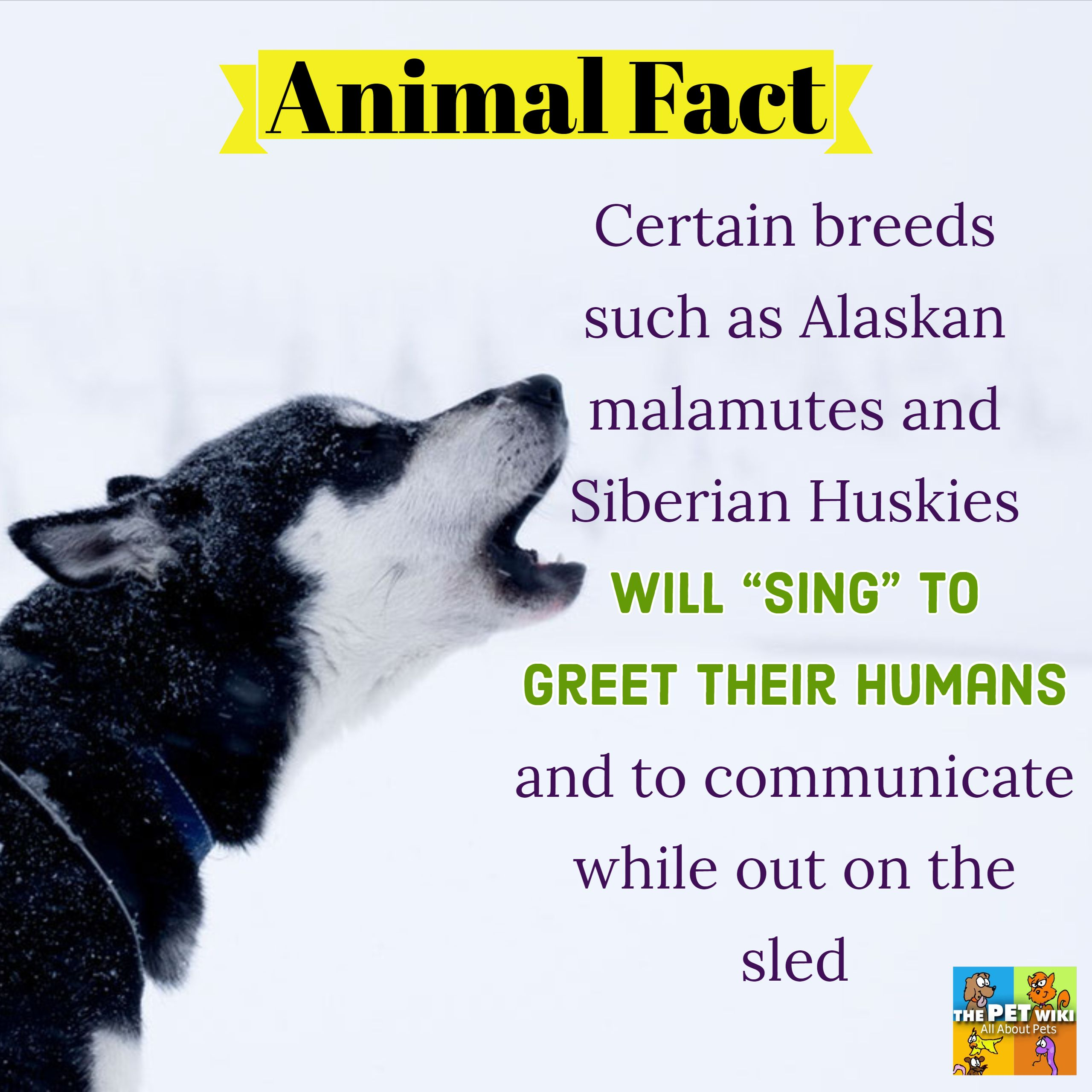 Singing Dogs With Images Siberian Husky Siberian Husky Funny