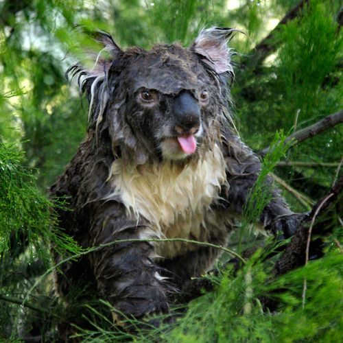 This koala was sleeping in a tree when it was rudely awakened by a gardener who decided to water his trees.