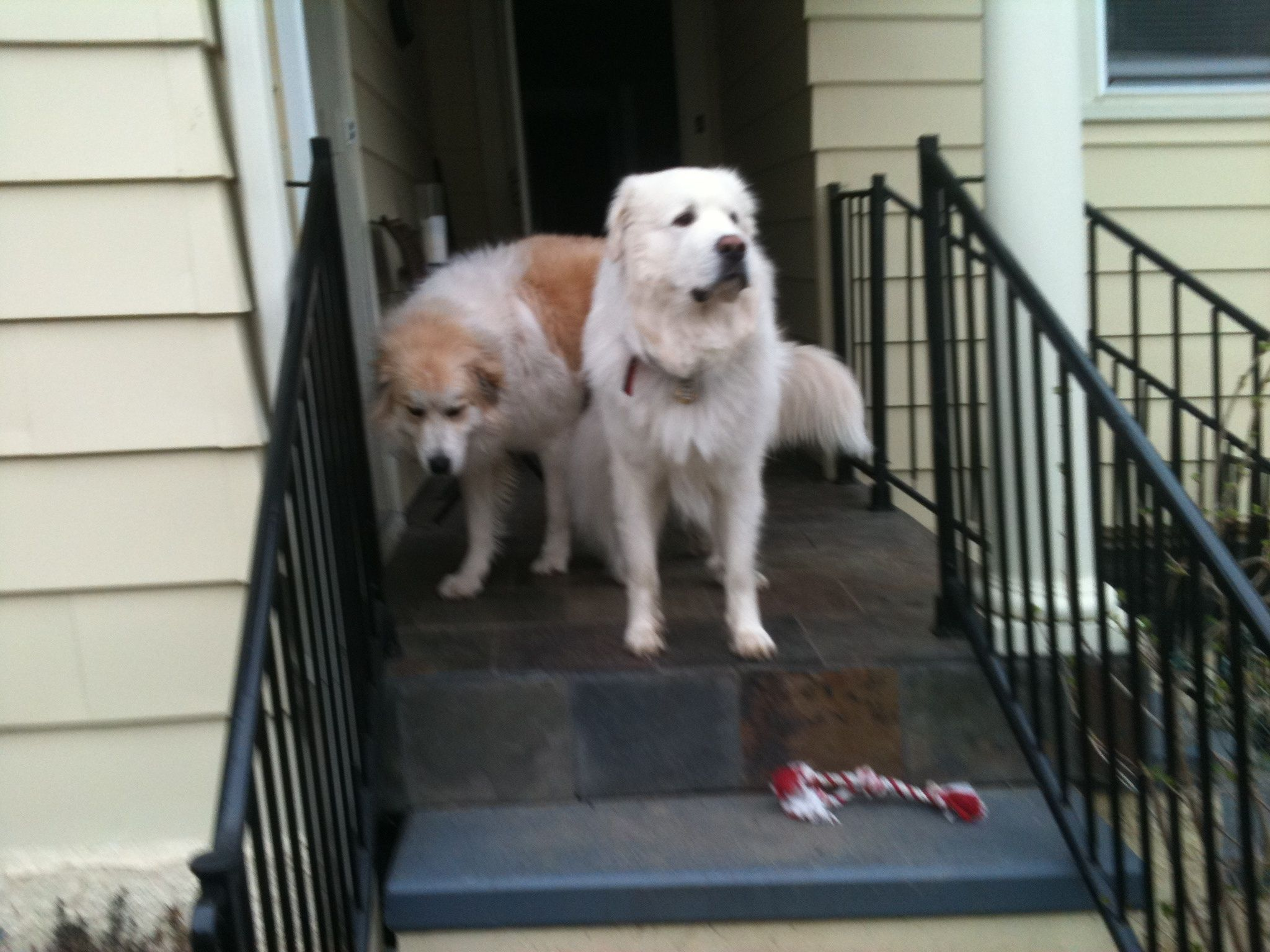 George And Starr Great Pyrenees Doggy Vets