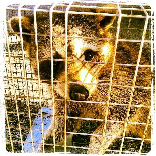 Brown Raccoon Caught Trying To Make His Way Into An Armadillo Hole In Kissimmee Www Floridawildlifebusters Com 407 733 8623 Raccoon Removal Raccoon Wildlife