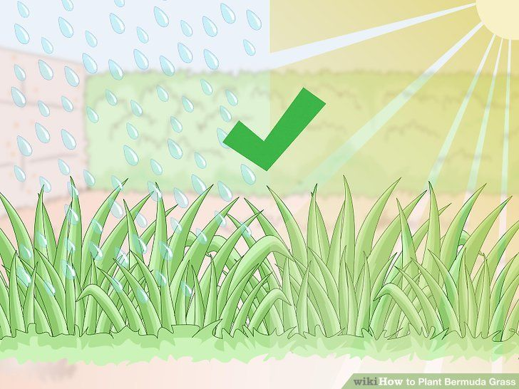 Plant Bermuda Grass Bermuda Grass Planting Grass Seed Planting Grass