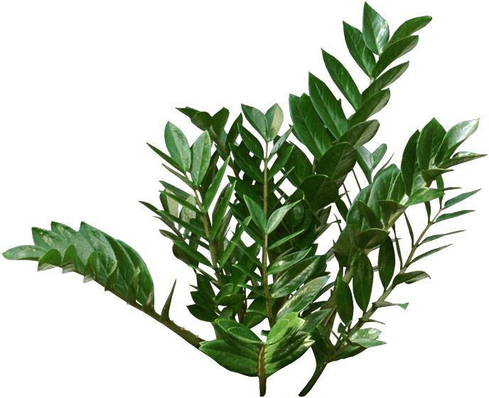 Unusual houseplants zz plants have long stems covered in 7 uncommon indoor plants