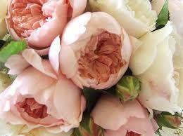 David Austin David Austin Roses Peony Rose David Austen Roses