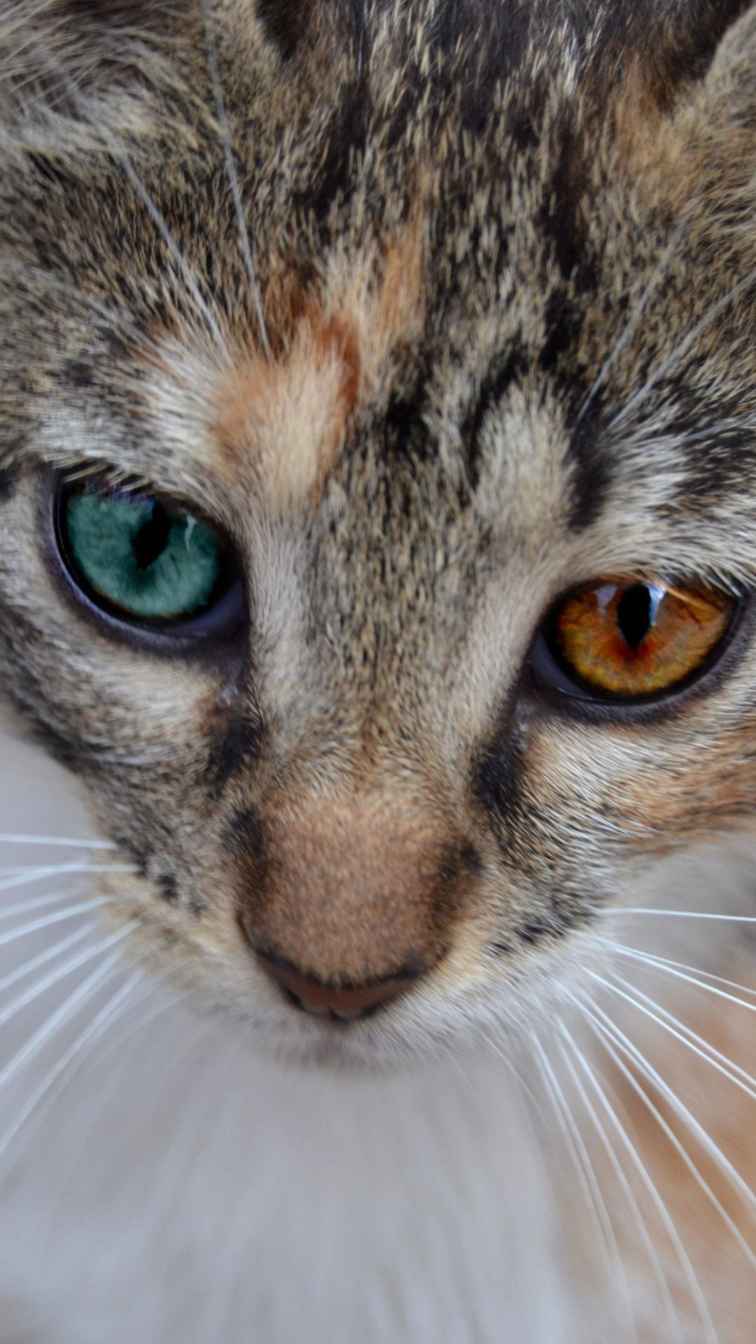 Cat Face Close Up Two Colors Eyes Cats Crazy Cats Beautiful Cats