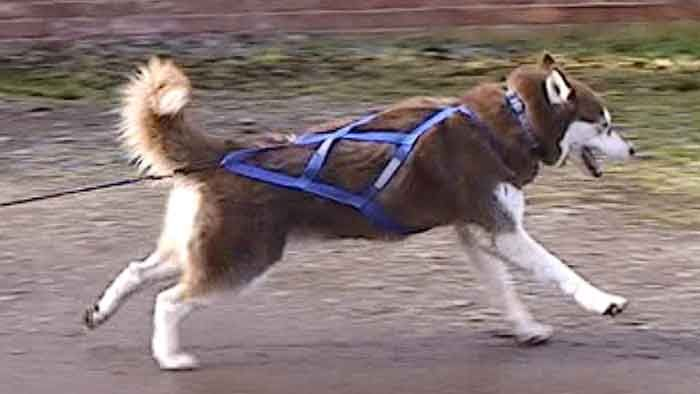 Sled dog harnesses - Watch video - Naturally Happy Dogs | Sled/cart