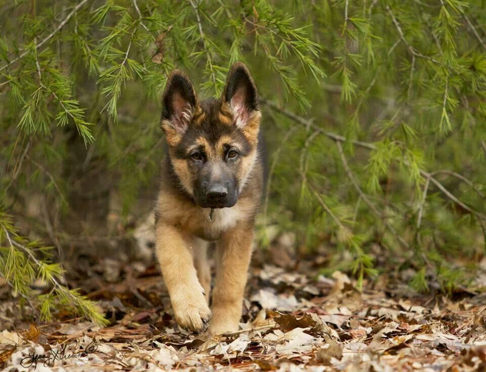 Want This Little Baby Perfect Picture German Shepherd German