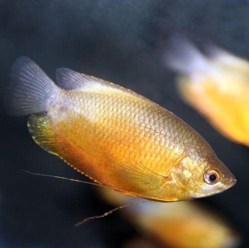 Sunset Thicklip Gourami Colisa Labiosa Tropical Fish Tanks Siamese Fighting Fish Tropical Fish